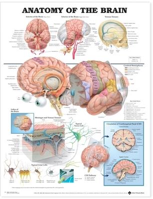 Anatomy of the Brain Anatomical Chart - Anatomical Chart Company (Editor), and Anatomical, Chart