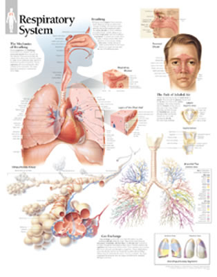 Respiratory System - Scientific Publishing